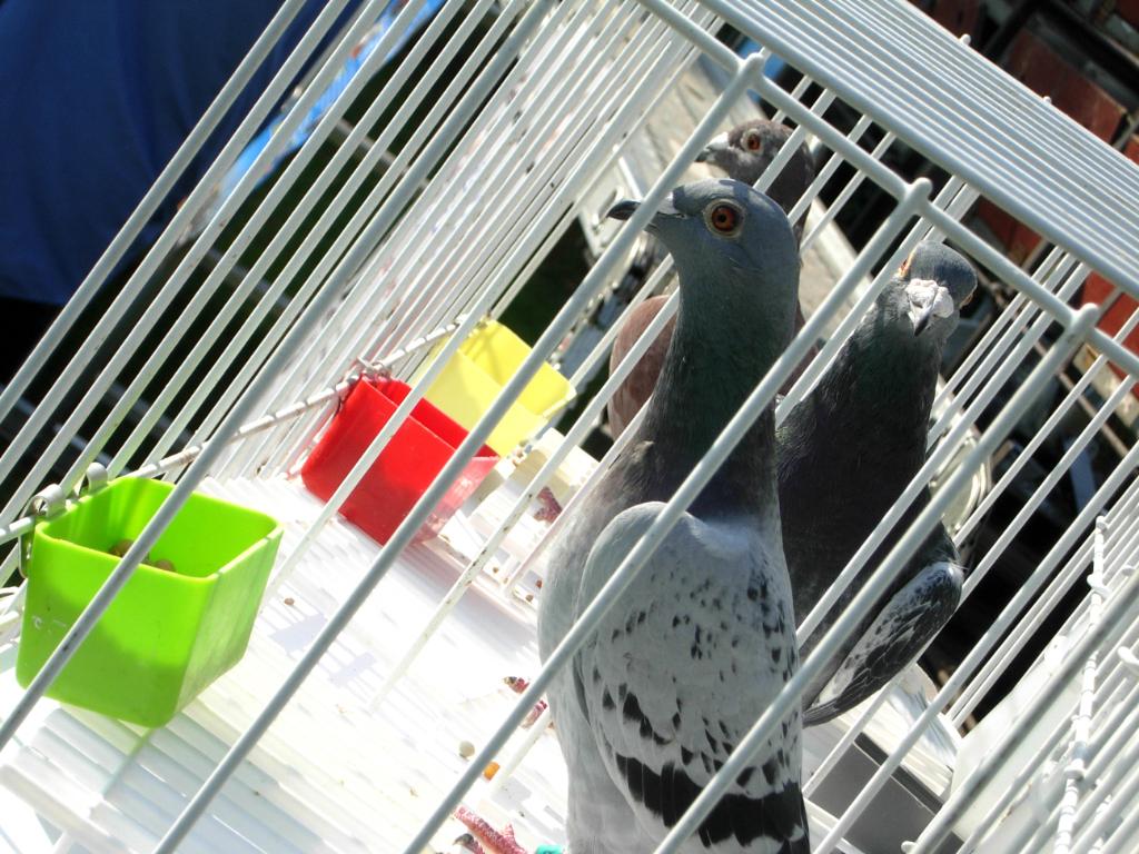 pigeons1_1024