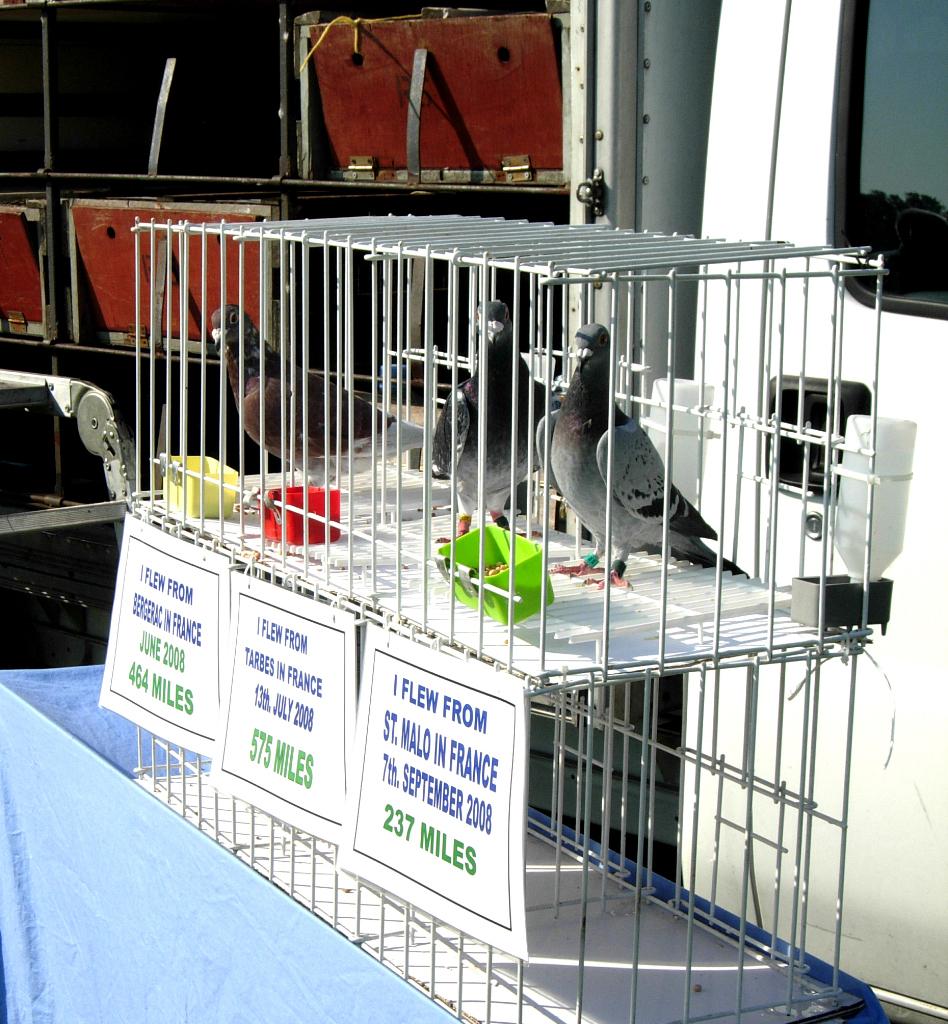 pigeons2_1024