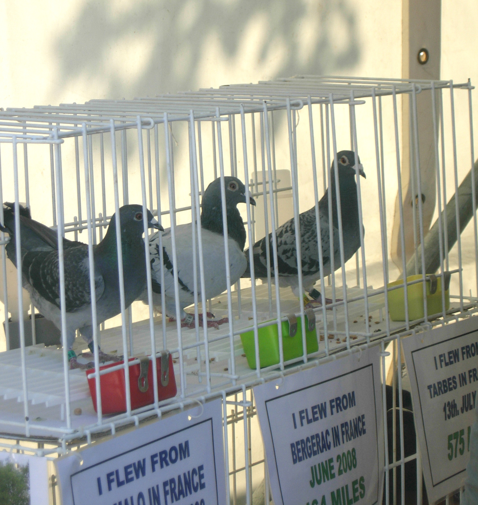 pigeons9_1024